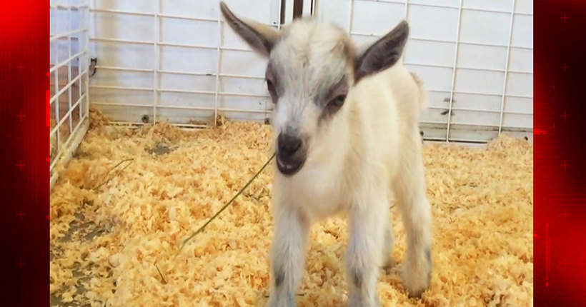 FOUND! Baby goat stolen from petting zoo at Arizona State Fair