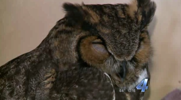 Police officer rescues injured owl, lets it ride shotgun to vet