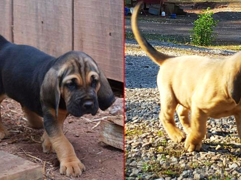 New crime-fighting bloodhound puppies have names!