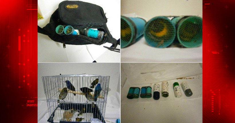 Suspect arrested smuggling live birds into Miami