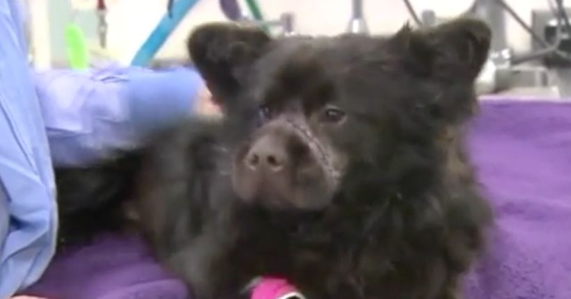 Dog found abused, muzzled with rubber band; authorities investigating