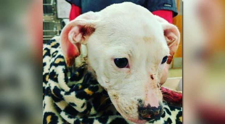 Humane Society treating pit bull puppy set on fire in apparent act of animal cruelty