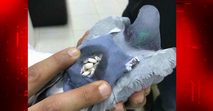 Pill-packing pigeon netted for smuggling drugs