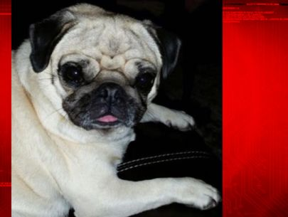 Thief breaks into home, takes family's pug