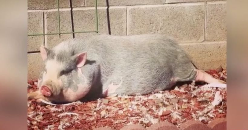 Family says pet pig named Pete killed