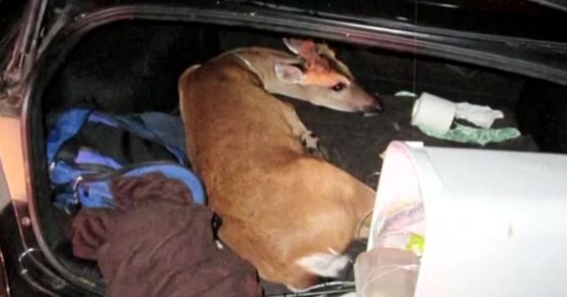 3 Key deer rescued from car in Monroe County