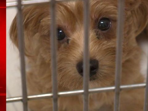Couple gets probation for hoarding over 180 Yorkies