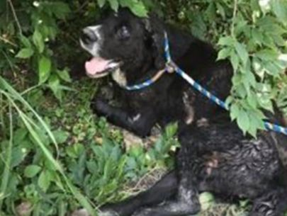 Dog survives gunshot wounds and horrific injuries
