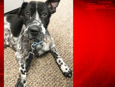 Vets hope surgery will save severely abused dog's leg