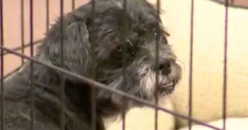 MCACC: Neglected dog's leg fell off during grooming after owner surrender