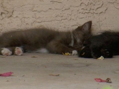 Police investigating possible cat poisonings in Phoenix