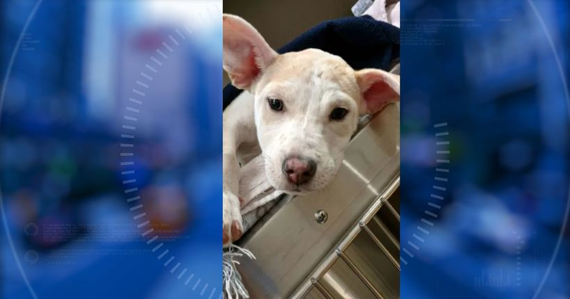 Puppy thrown down stairs, beaten with flashlight recovering after surgery