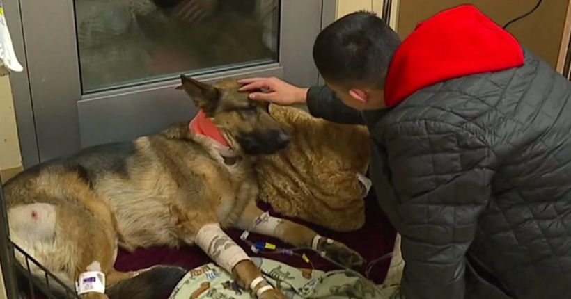 'Hero dog' beaten, shot by thieves while protecting teen during home-invasion