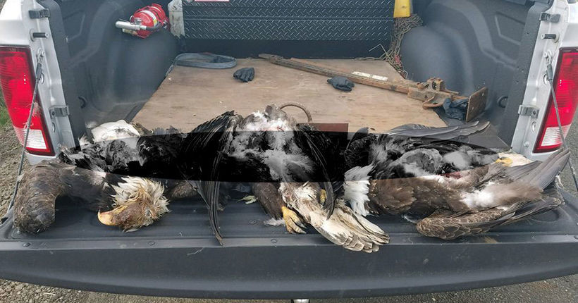 Oregon troopers investigating after three bald eagles shot to death
