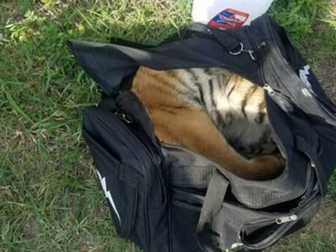 Border Patrol agents find abandoned duffel bag with tiger inside