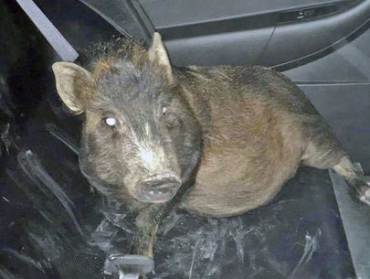 Man calls police to report he's being followed by a pig