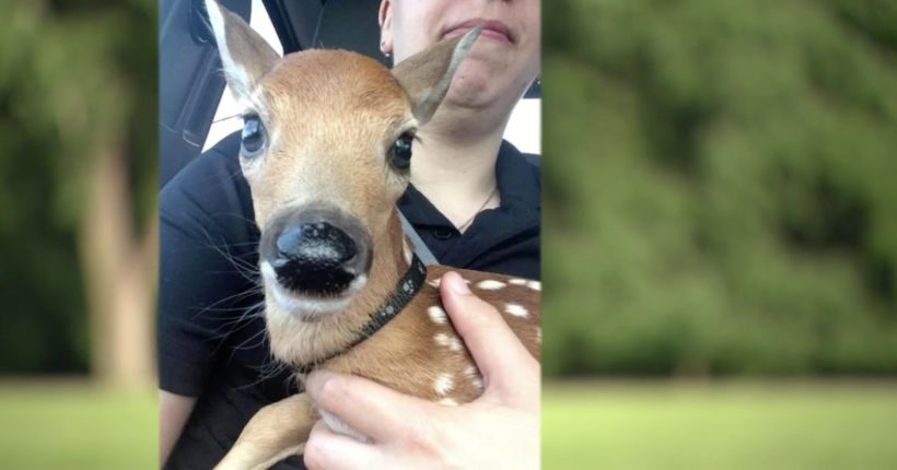 Baby deer found abandoned, tied to a tree
