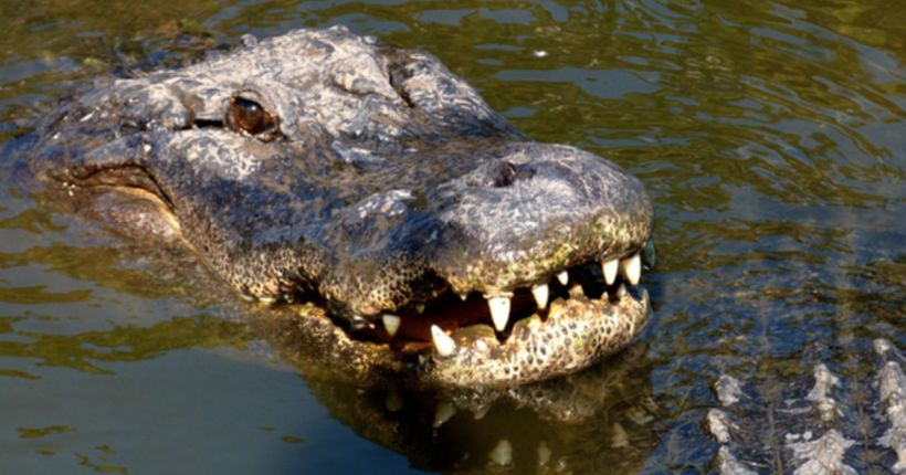 Decapitated alligator found dumped on Florida roadway