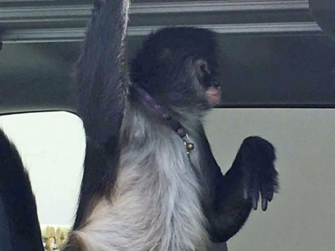 Florida monkey accused of biting Home Depot worker; owner arrested