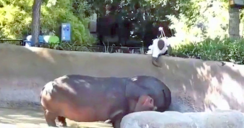 WATCH: Video of man spanking hippo at L.A. Zoo prompts LAPD investigation
