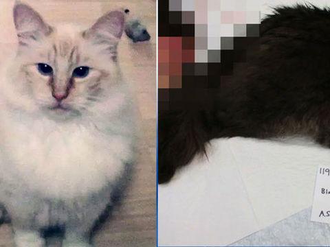 'Disturbing serial crime spree': 12th cat found mutilated in Olympia area